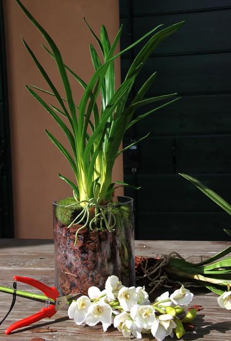 Pianta di orchidea con radici fiori e piante artificiali for Orchidea pianta
