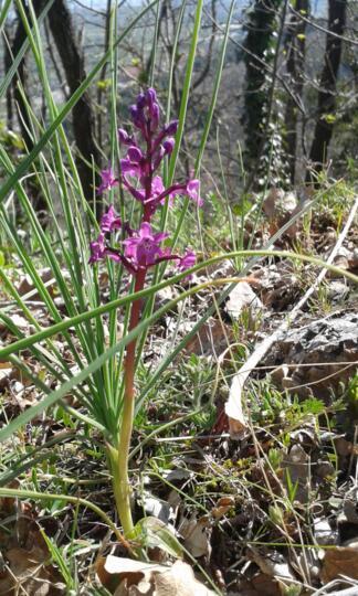 Soggiorno a San Giovanni Rotondo alla scoperta delle Orchidee del Gargano