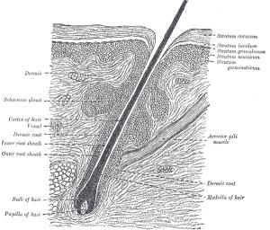 Il ciclo di vita del capello
