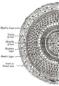 La struttura del capello vista da vicino