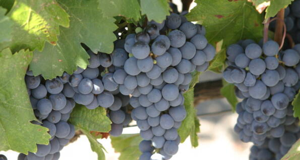 Festa dell'Uva a Chambave