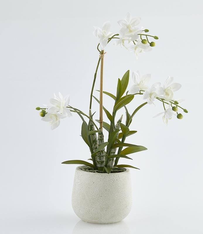 Pianta di orchidea dendrobium scegli la misura fior for Orchidea pianta